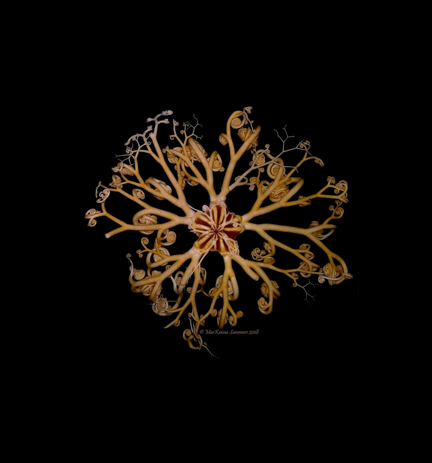 Photo of basket star by MacKenna Hainey.