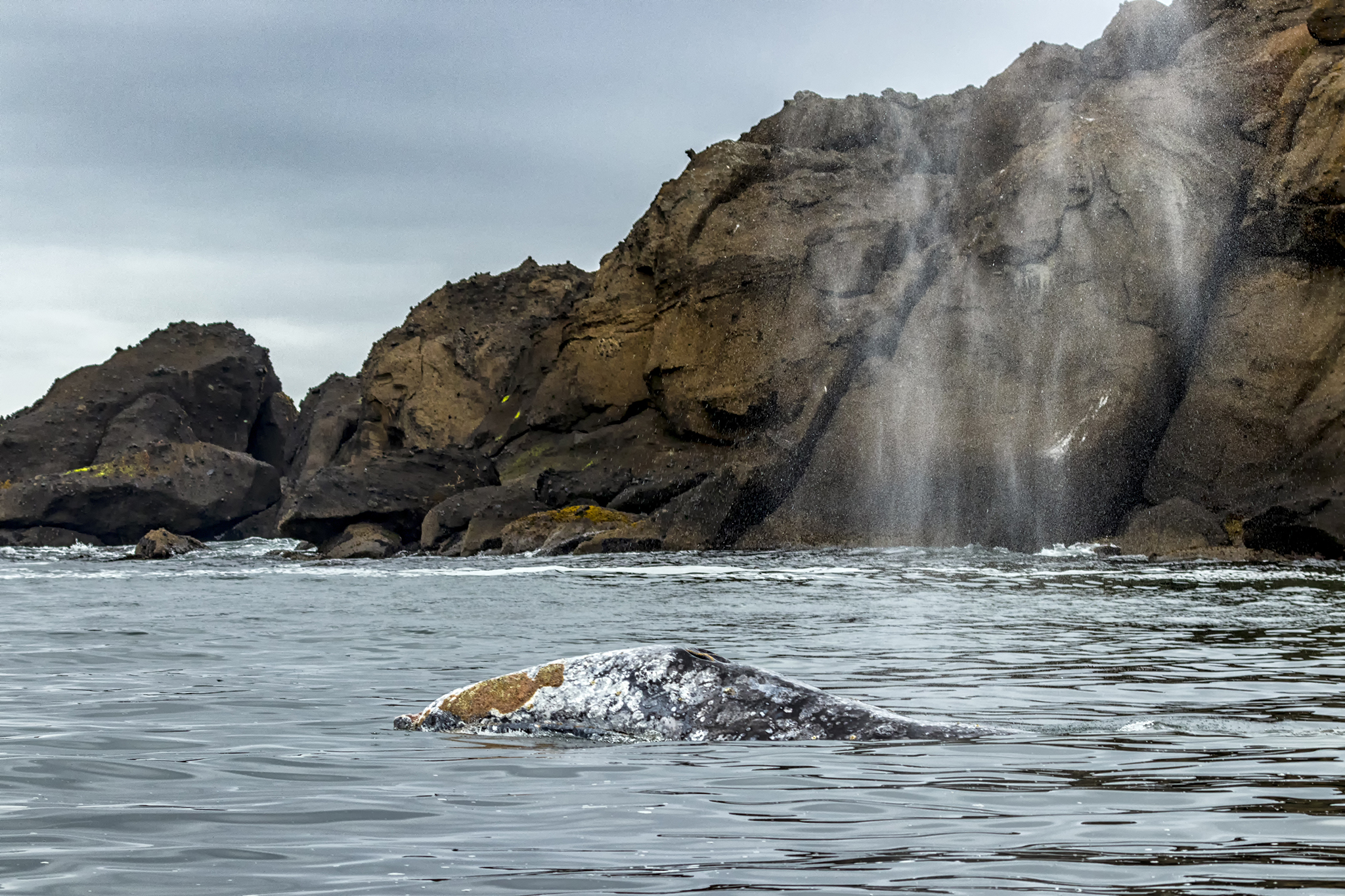 Gray whale at Depoe Bay.\Photo by Rena Olson.