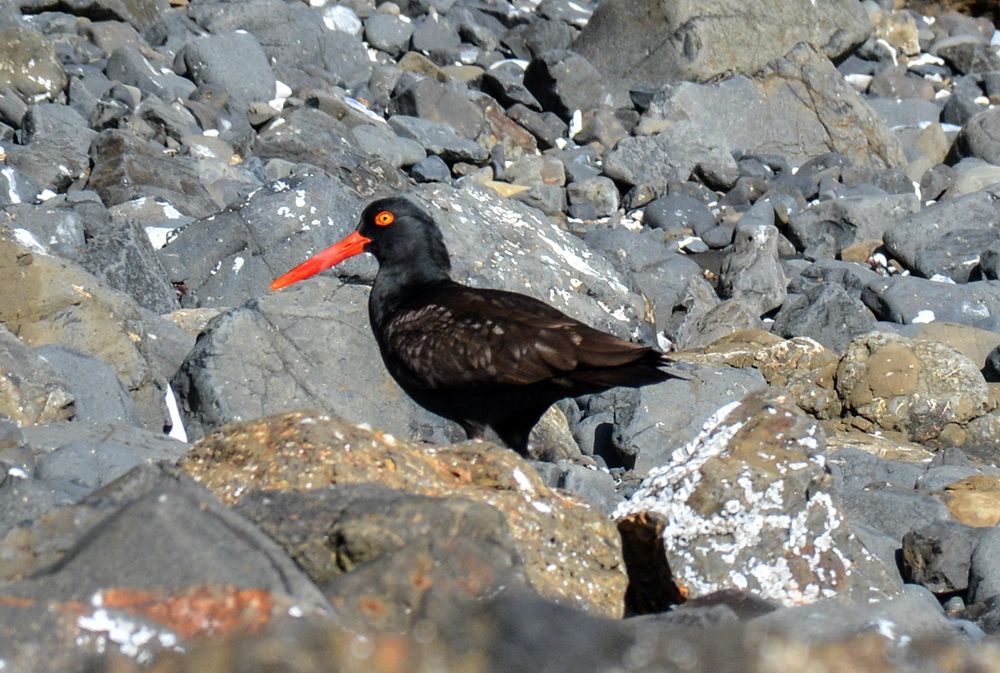 Black Oystercatcher.\Photo by Tiffany Boothe.