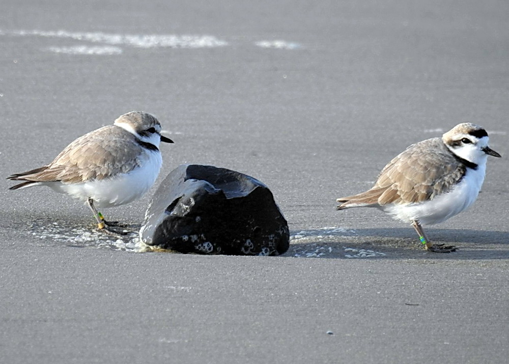 Snowy plovers at South Beach. Photo by Cathy Tronquet.