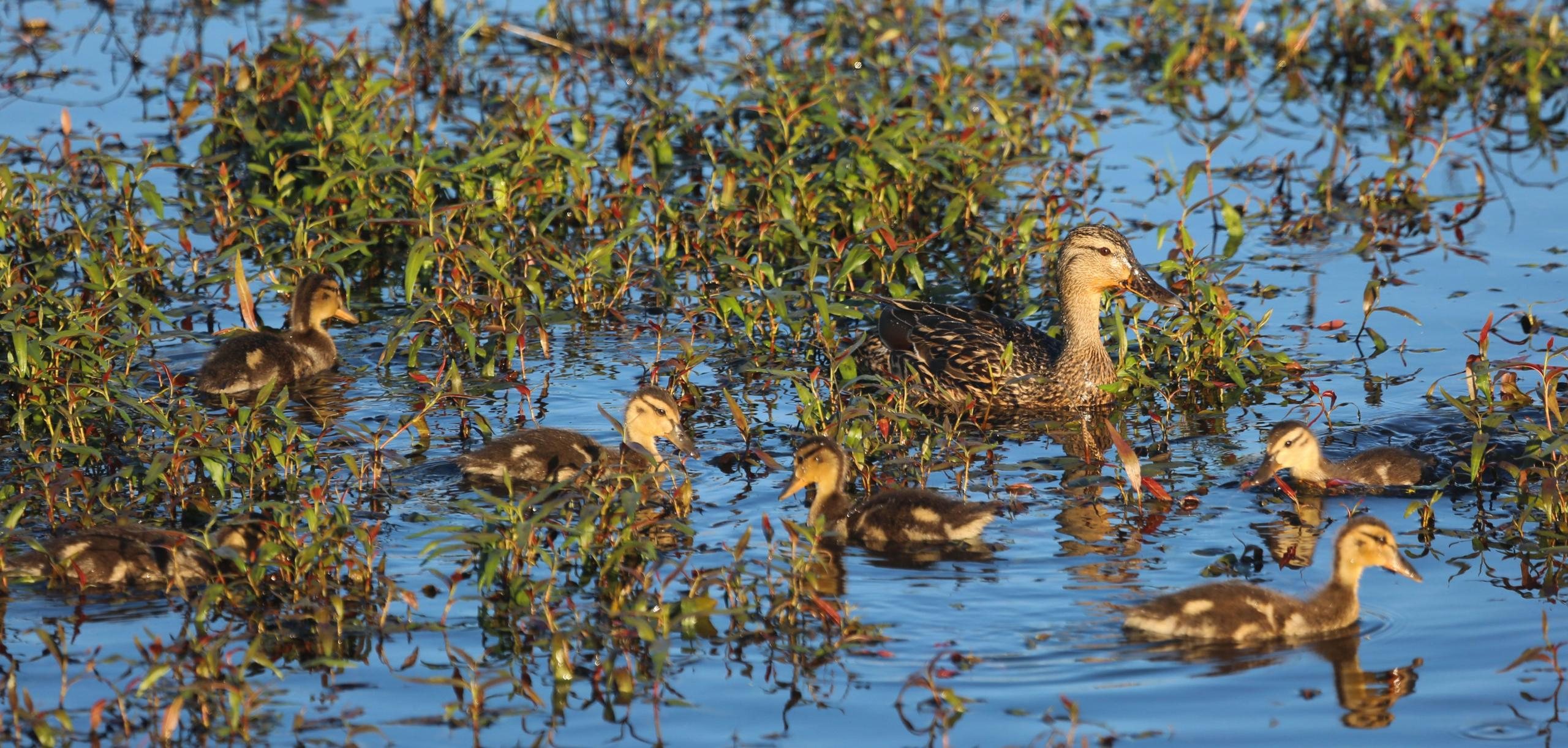 Mallard and ducklings.\Photo by Roy Lowe.