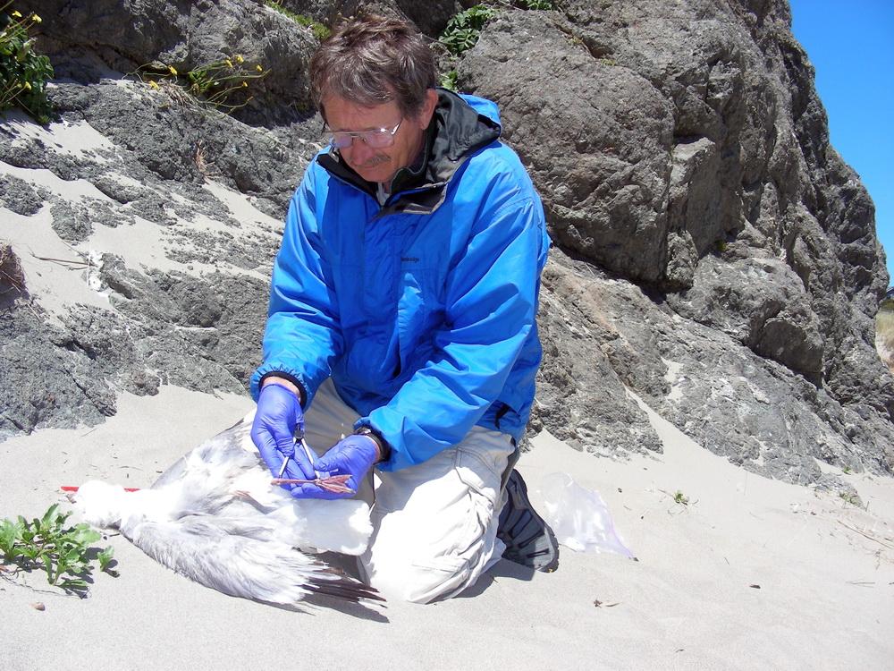 CoastWatch Dave Bilderback conducting the beached bid survey.