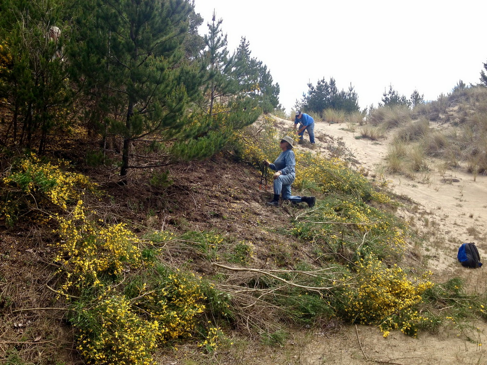 Volunteers removing Scotch Broom in the Oregon Dunes.\Photo by Dina Pavlis.