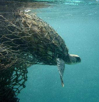 Sea turtle caught in drift gillnet. Photo courtesy of Turtle Island Restoration Network.