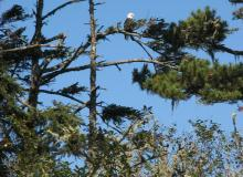 Photo of Eagle perched on Sand Lake spit, by Jim Hauge.