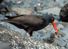 Black Oystercatcher with chick.  Photo by Heather Roskelley.