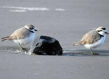 Snowy plovers on South Beach.\Photo by Cathy Tronquet.