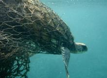 Sea turtle caught in drift gillnet. Photo courtesy of Turtle Island Restoration Network.