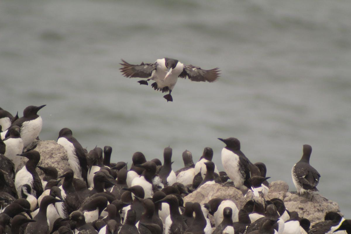 Photo of Common murres at Yaquina Head. Photo by Amanda Gladics.