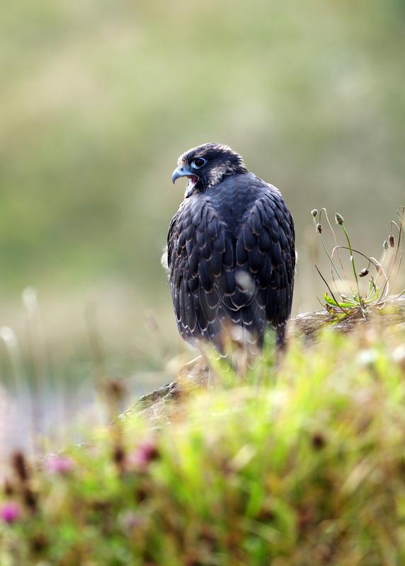 Photo of Peregrine Falcon chick.