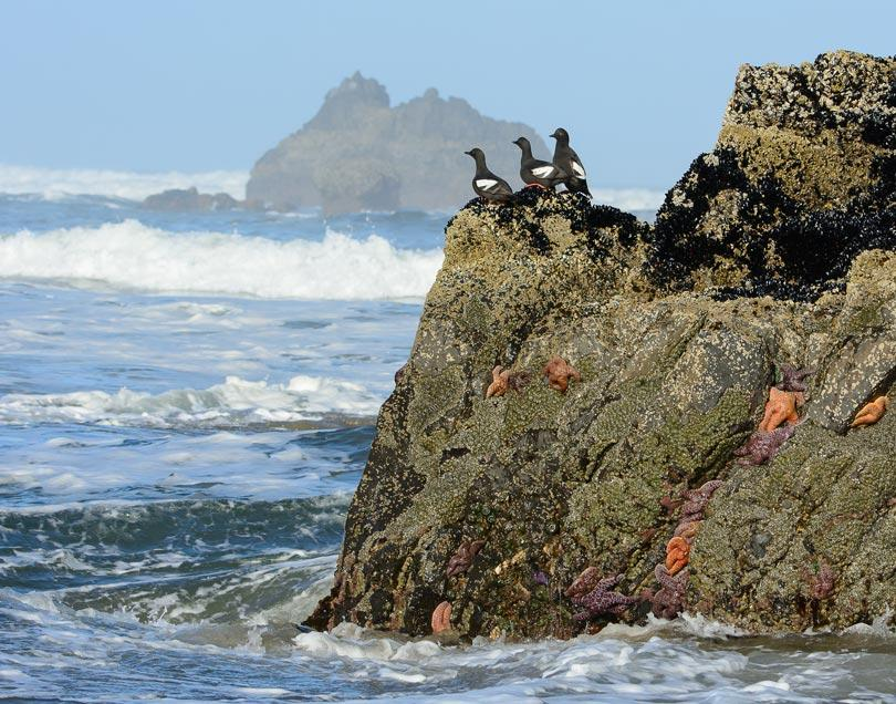 Pigeon Guillemots.  Photo by Heather Roskelley.