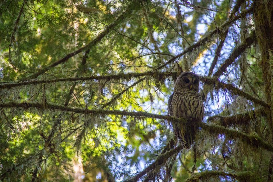 Barrel Owl in Oregon.
