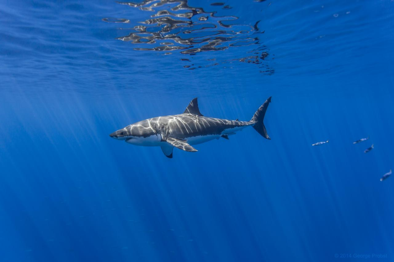 A male great white shark swimming near the surface off the coast of Isla de Guadalupe.