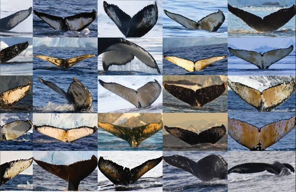 Whale flukes. | Photo courtesy of American Cetacean Society