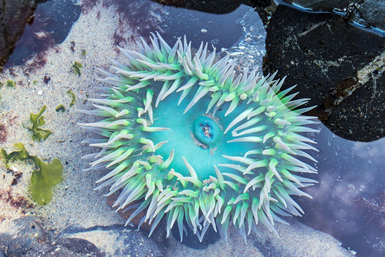 anemone rena martin