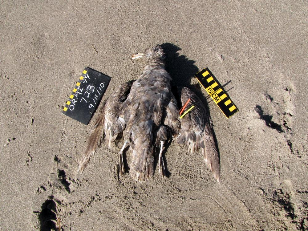 Beached Northern Fulmar with survey tags.|Photo courtesy of COASST.