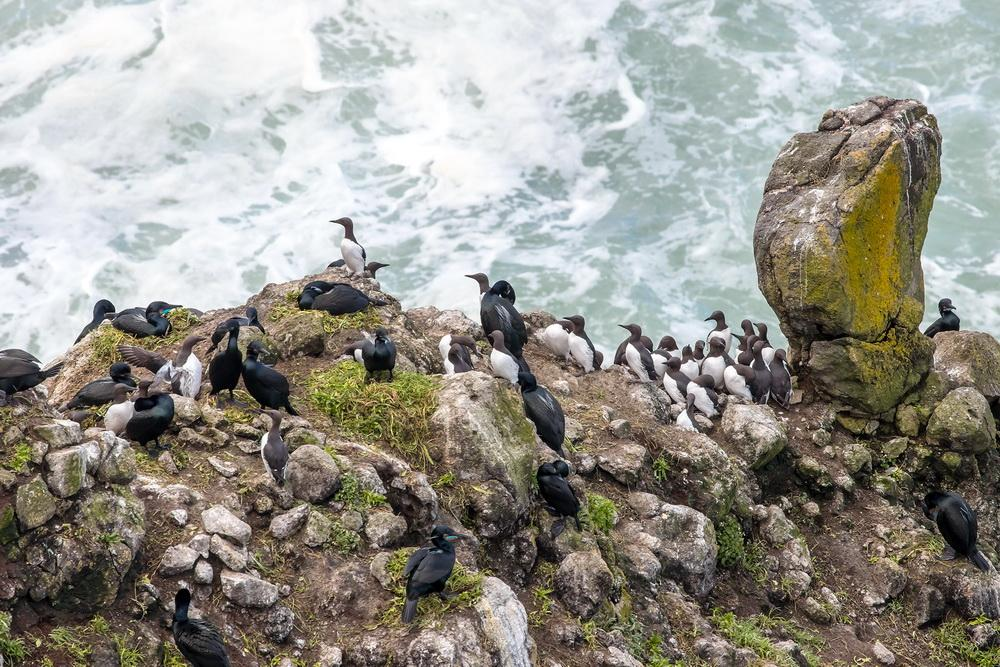 Common Murres, along with Brandt's Cormorants.\Photo by Rena Olson.