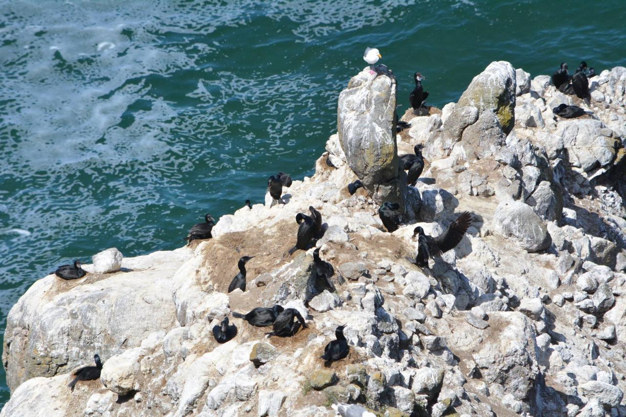 Cormorants in Oregon.