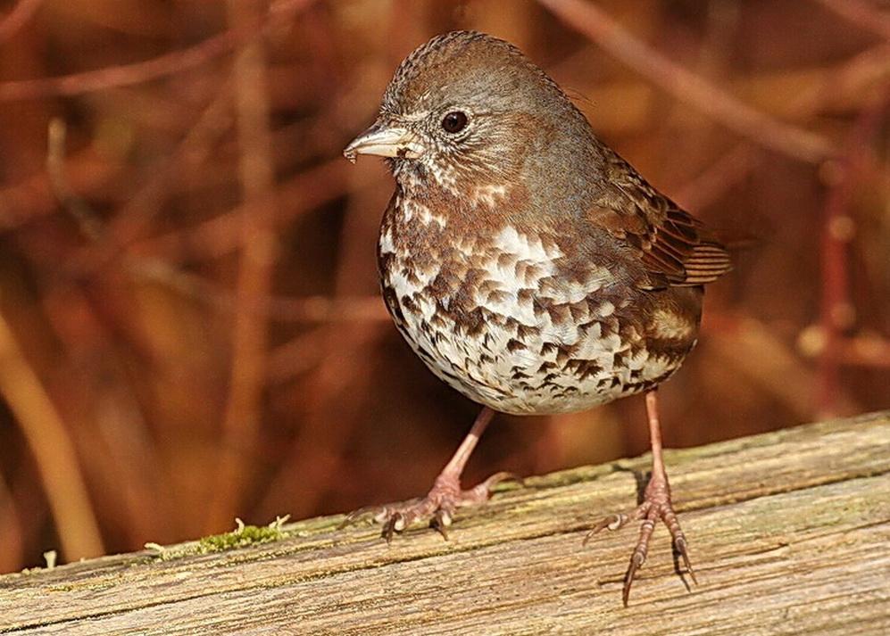 Fox Sparrow\Photo by GreatBlue1 Flickr