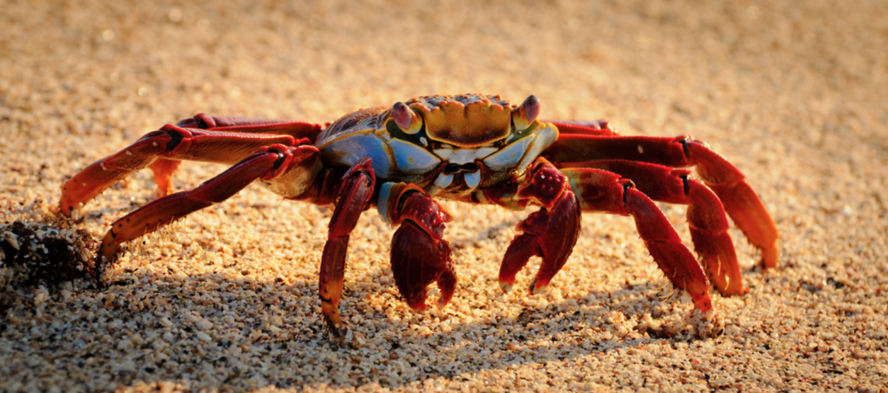 Sally Lightfoot Crab in the Galapagos.