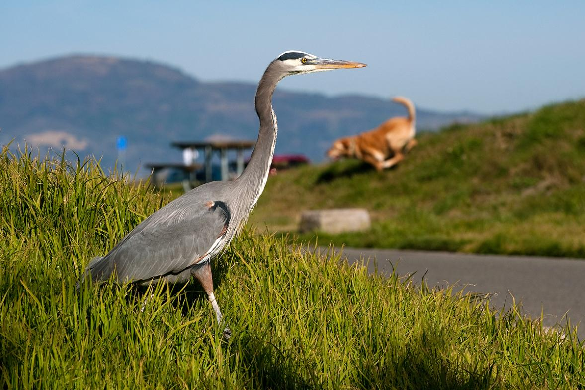 Great blue heron at Crissey Field State Park. | Photo by Walter Kitundu