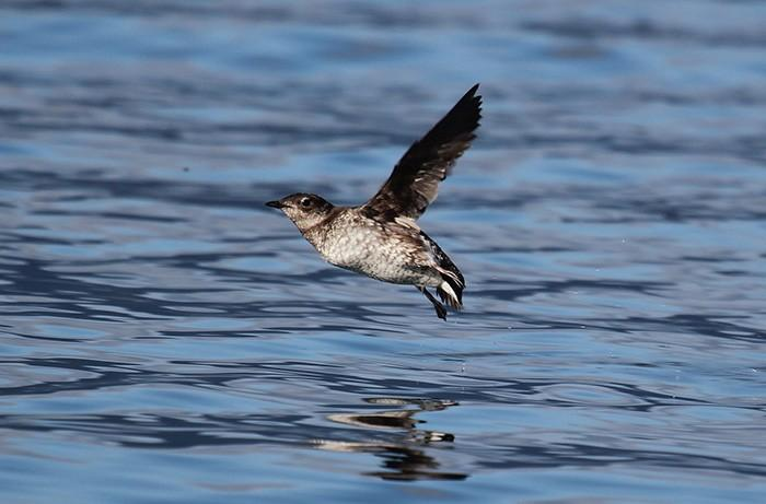 Marbled murrelet in flight. | Photo from USFWS