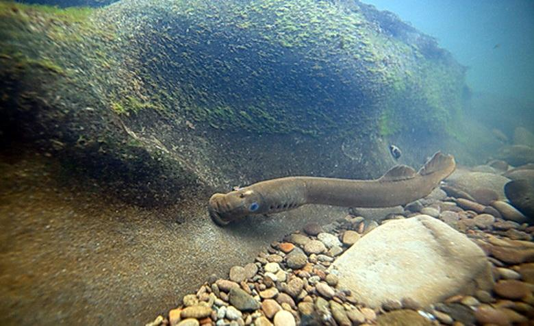 Pacific lamprey. Photo courtesy of USFWS.