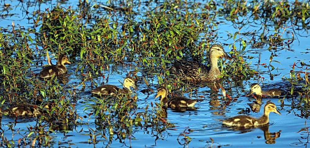 Mallard with ducklings. Photo by Roy Lowe.