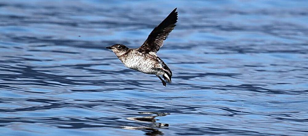 Marbled Murrelet in flight.\Photo courtesy of the Washington Environmental Council.
