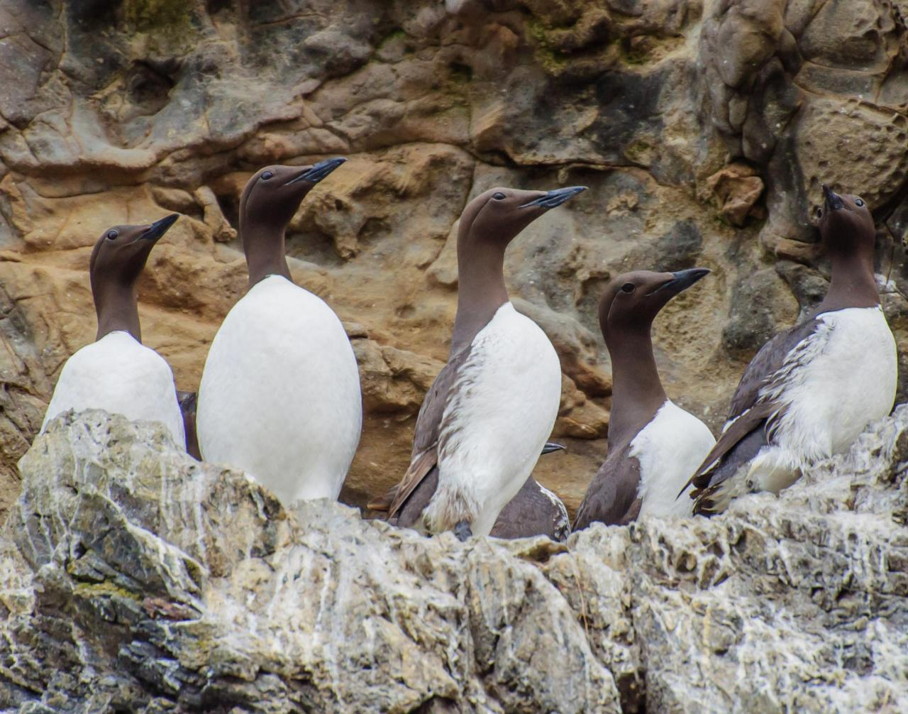 Common Murres perching on the side of a rock.