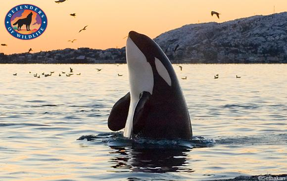 Photo of orca whale off the coast of Oregon.