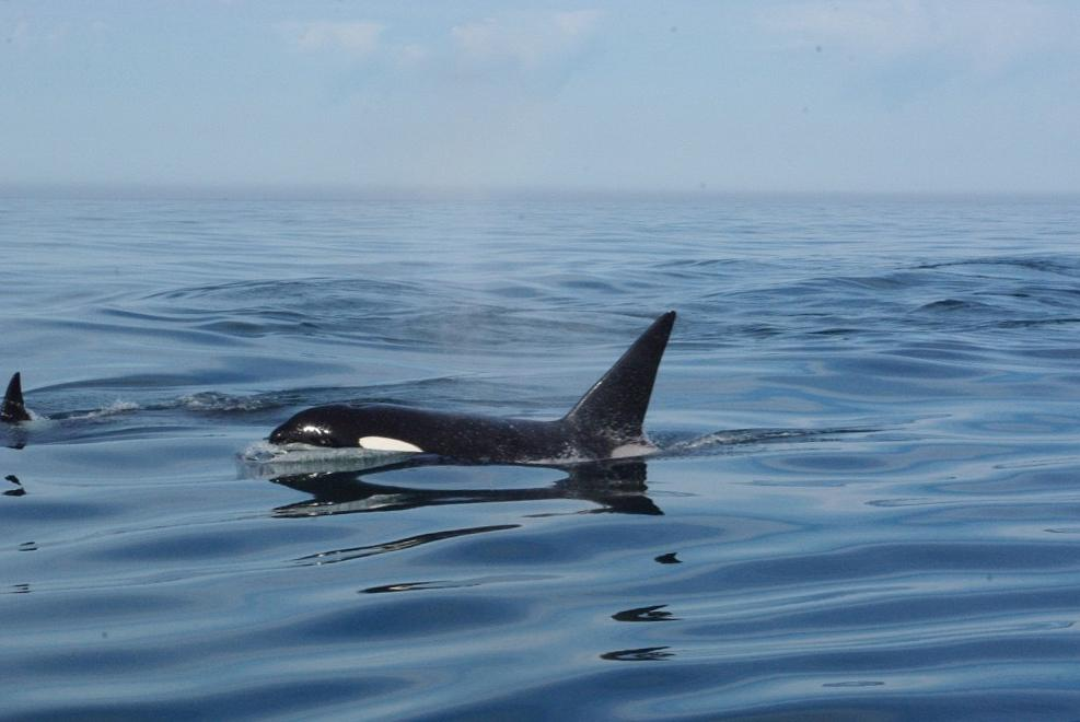 Photo of two orca whales off the coast of Oregon.