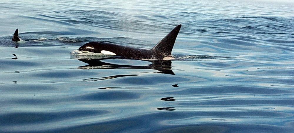 Orcas off the Oregon coast.\Photo by Gary Ligi.