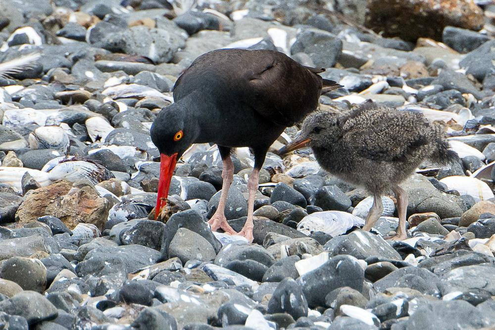 Oystercatcher with chick.\Photo by Heather Roskelley.