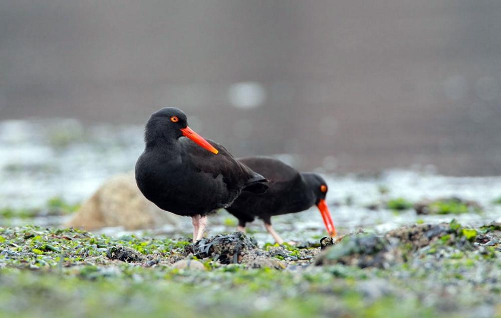 Black Oystercatchers.\Photo by Scott Carpenter.