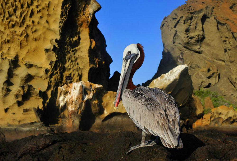 Brown Pelican. Photo by Michael Sims.