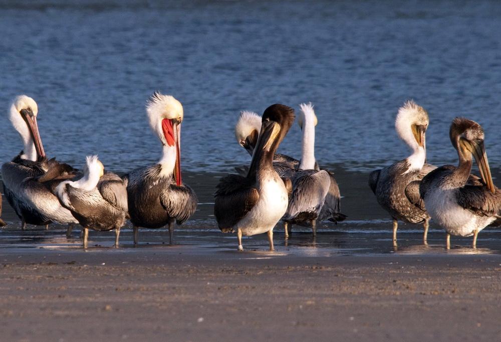 Brown Pelicans.\Photo by Roy Lowe.