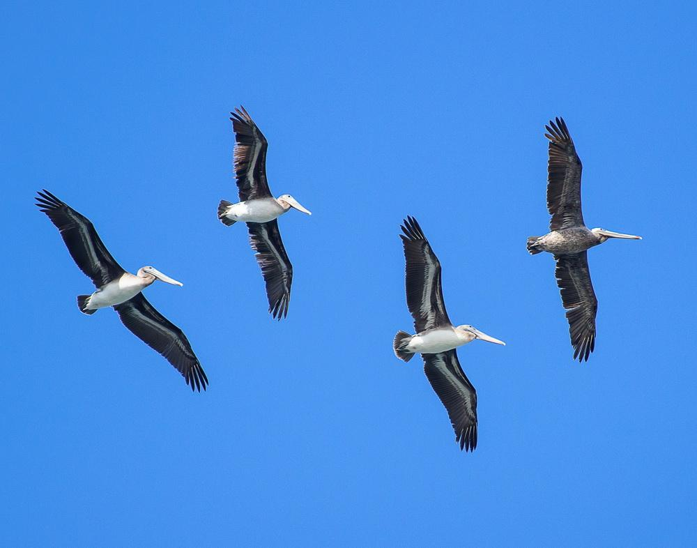 Brown pelicans in flight. Photo by Heather Roskelley.