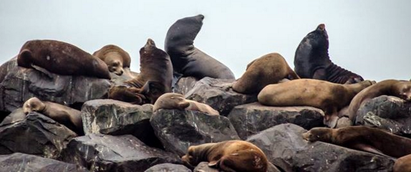 Pinnipeds at Cape Arago. Photo courtesy of SEA.