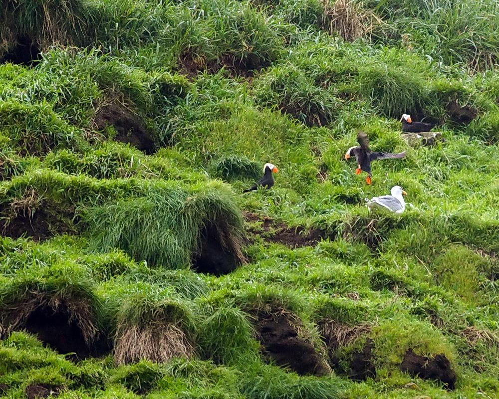 Tufted Puffins nesting on Haystack Rock.\Photo by Michael Coe.
