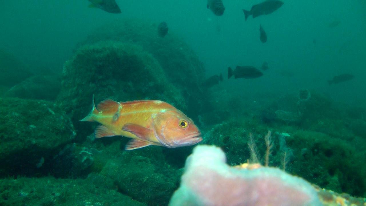 Canary rockfish.\Photo courtesy of Oceana.