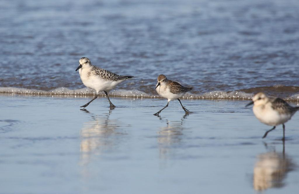 Sanderlings. Photo by Peter Pearsall.