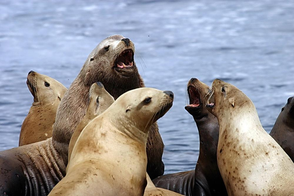 Sea lions on Rogue Reef.\Photo by Dave Ledig.