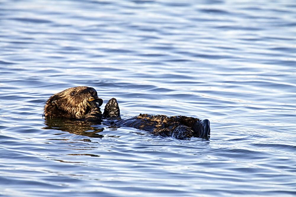 Sea otter at sea.\Photo by Lillian Carswell.