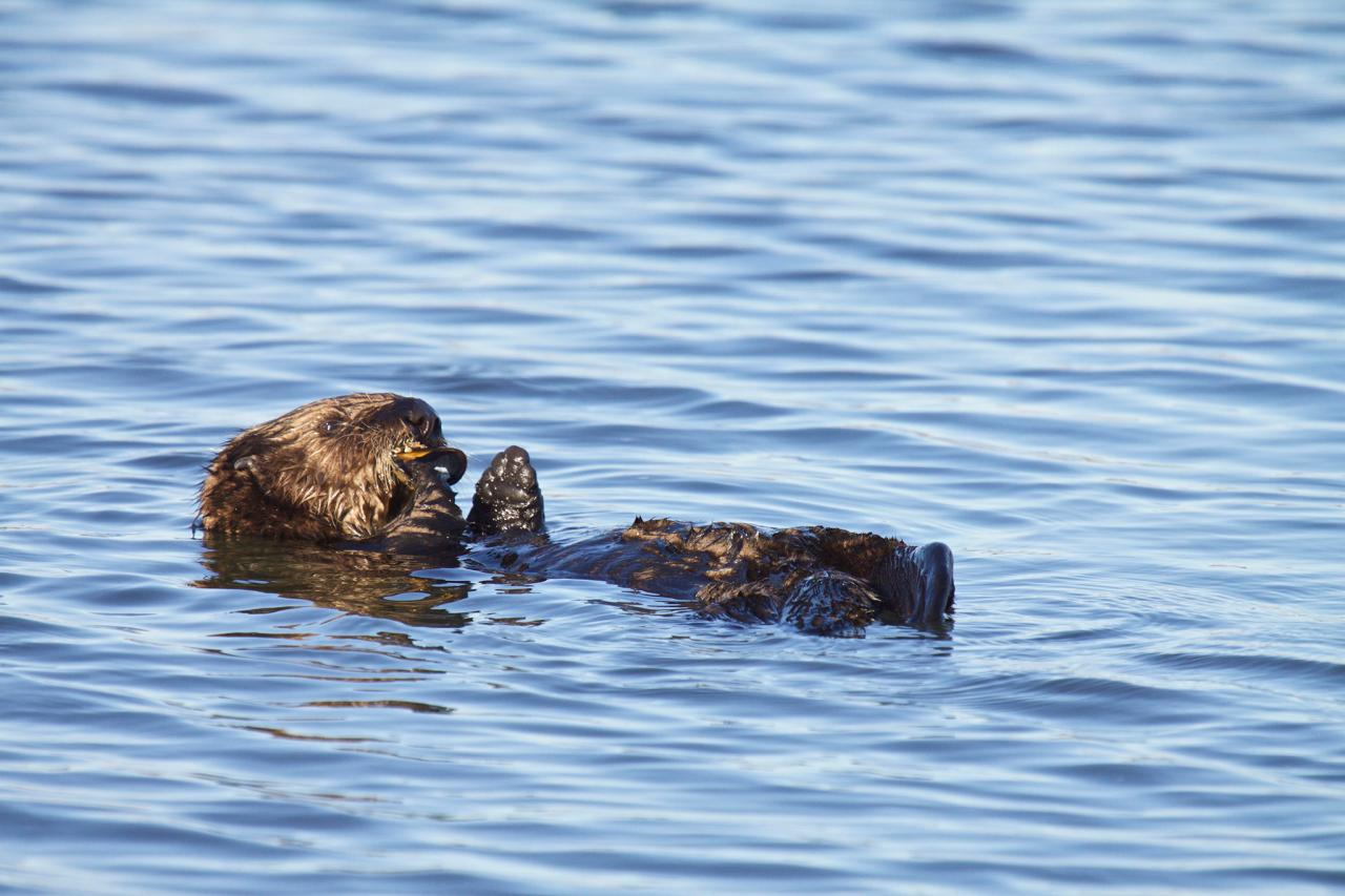 Sea otter at sea.\Photo by Lilian Carswell.