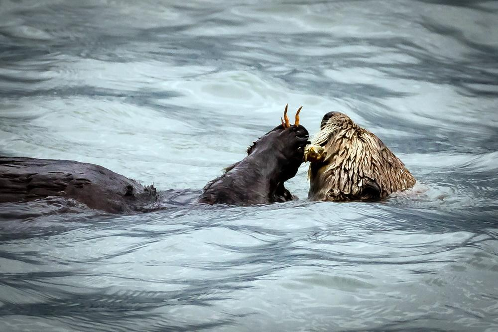 Sea otter feeding.\Photo by Arenkert.