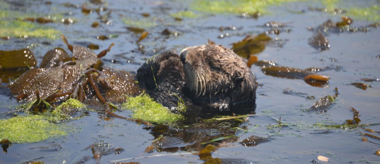 Sea otter feeding.\Photo by Max Lipman.