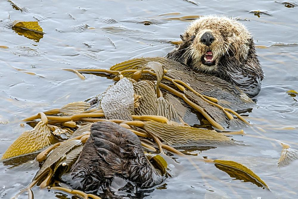 Sea otter at home in kelp.\Photo by Joe Platko.