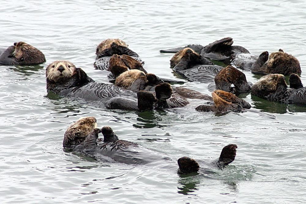 Raft of sea otters.\Photo by David Sidle.