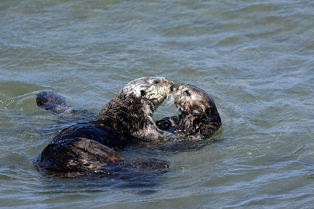 Sea otters in an intimate moment.\Photo by Fritz Wilhelm.
